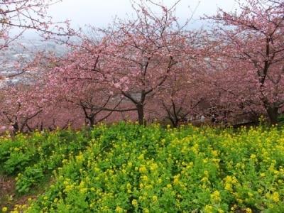 松田・西平畑公園の河津桜(3)/菜の花と共に