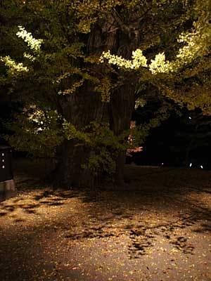 イチョウの落ち葉を照らす