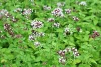 スッキリとした香りのオレガノは、古代エジプトでは医療でも用いられていました。
