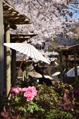 鶴岡八幡宮の源氏池ほとりでは、桜と牡丹のコラボが楽しめます