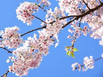 鎌倉生まれの桜「玉縄桜」(神奈川県立フラワーセンター大船植物園)