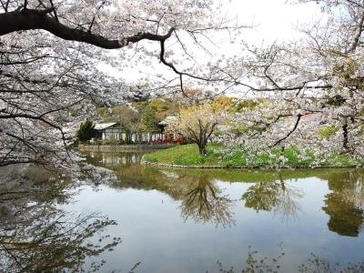 鶴岡八幡宮、源氏池の桜