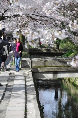 「哲学の道」の桜のトンネル