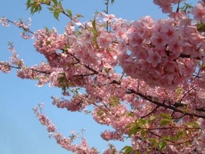 三浦海岸の河津桜(2)/たわわに咲いています
