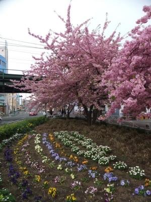 三浦海岸の河津桜(5)/駅前の河津桜と可憐な花畑
