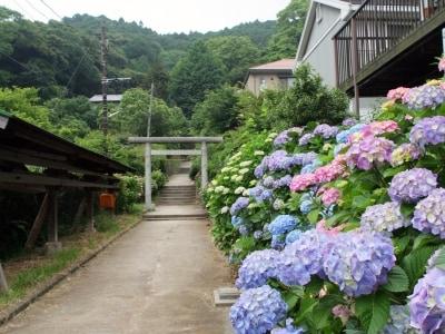 アジサイ咲く白山神社の参道