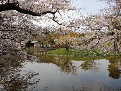 鶴岡八幡宮undefined源氏池の桜