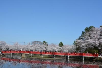 薄紅色のグラデーションが覆う岩槻城址公園の八つ橋