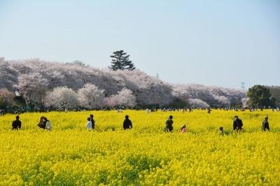 菜の花の黄色と桜の薄紅色の色彩のコントラストが見事な権現堂桜堤