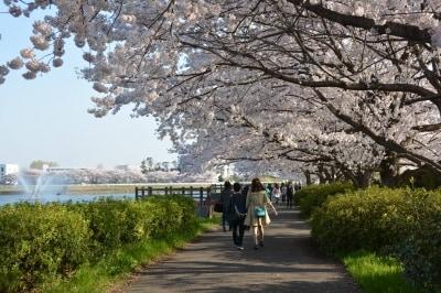 行幸湖岸の桜のトンネル