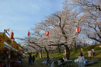 水害対策用の城ケ谷堤を春の訪れを告げる桜