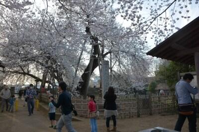 東光寺の境内で花を咲かせ続ける樹齢約800年の石戸蒲ザクラ