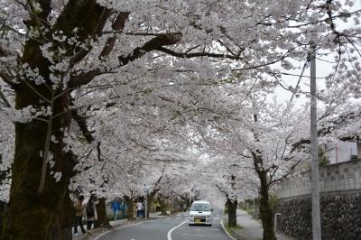 約4キロの道の両側が薄紅色の染まる長瀞北桜通り