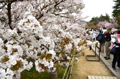 遅咲きで知られる仁和寺の「御室桜」