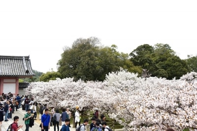 「中門」横に咲く御室桜