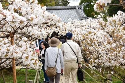 御室桜は一般的な桜より背が低いため、間近で花を楽しむことができる