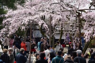 花見客でにぎわう桜の時期の醍醐寺境内(2016年3月29日撮影)