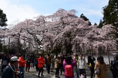 三宝院の「太閣しだれ桜」(2016年3月29日撮影)
