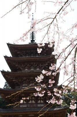 醍醐寺五重塔と桜(2016年3月29日撮影)