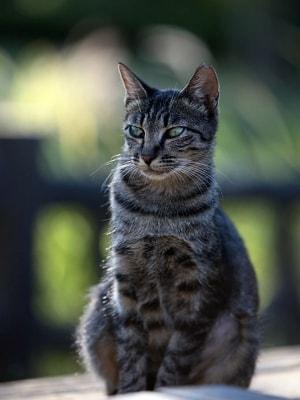 不妊手術+耳カットされた地域猫