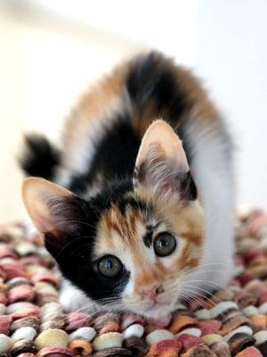 三毛猫のお嬢さん