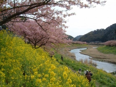 【静岡】下賀茂みなみの桜と菜の花