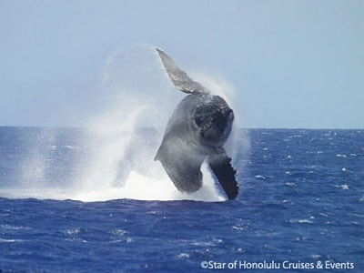 体の2/3を海面上に持ち上げた後、ひねって水面に叩きつける「ブリーチ」と呼ばれるクジラの行動(スター・オブ・ホノルル号より)体の2/3を海面上に持ち上げた後、ひねって水面に叩きつける「ブリーチ」と呼ばれるクジラの行動(スター・オブ・ホノルル号より)